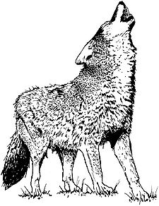 Loup hurlant.jpg